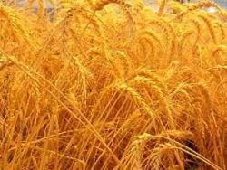 Озима пшениця з групи зернових досить холодостійка культура. Насіння починає проростати за температури у посівному шарі ґрунту 1-2°С. Сходи при цьому з'являються пізно і недружно. Оптимальна температура проростання пшениці перебуває в межах 12-20°С. За умови достатнього зволоження ґрунту сходи за такої температури з'являються на 5-6-й день. Якщо температура вища 25°С, висіяне насіння і проростки масово уражуються хворобами. Кращі строки сівби припадають на період з середньодобовими температурами повітря 14-17°С.