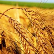 каталог зернових культур