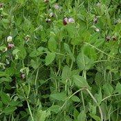 каталог зернобобових рослин