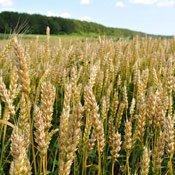 Системи захисту озимої пшениці