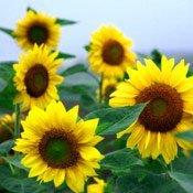 Системи захисту соняшнику