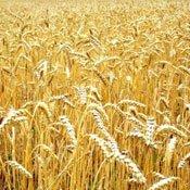 Системи захисту ярої пшениці