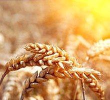 Протруйник зернових