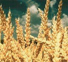 Купити протруйник для зернових в Україні