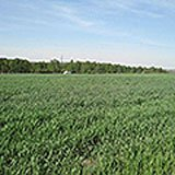 Купити насіння озимої пшениці в Україні