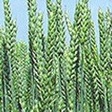 Купити насіння озимої пшениці