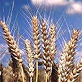 Продаж насіння озимої пшениці
