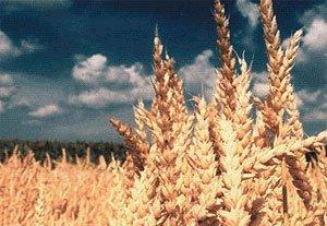 Протруйник насіння пшениці ціна