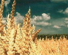 Протруйники насіння зернових культур ціна