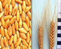 Протруйники насіння зернових культур