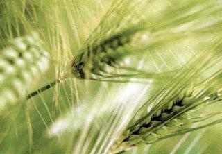 Протруйники насіння зернових ціна