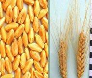 Купити протруйник насіння пшениці