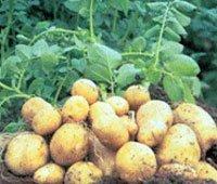 Протруйник картоплі