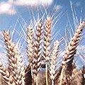 Насіння озимої пшениці в Україні