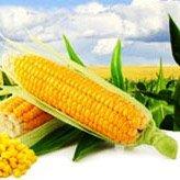 Кукурудза насіння купити ціна