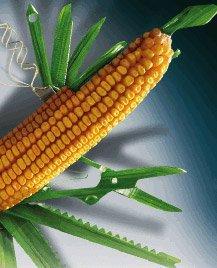 Купити насіння Syngenta