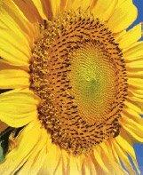 Продаж насіння соняшнику в Україні