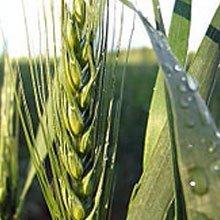 Система захисту озимої пшениці Сингента