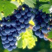 Система захисту винограду